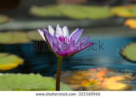 Garden pond with a blossoming purple water lily and lily pads - stock photo