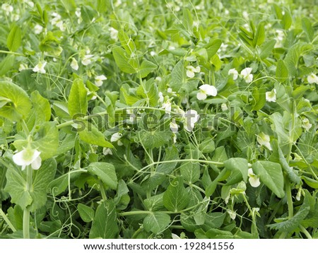 Garden potatoes plants growing  - stock photo