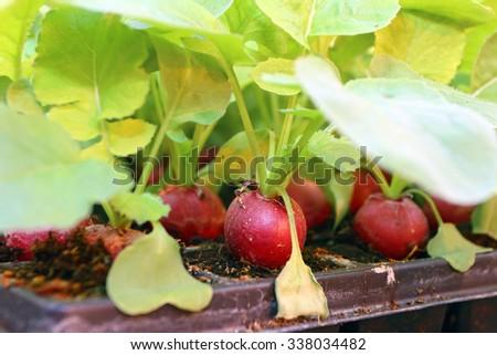 Garden radish growing in the modern greenhouse - stock photo
