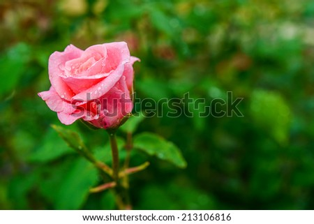 Garden roses are predominantly hybrid roses that are grown as ornamental plants in private or public gardens. - stock photo