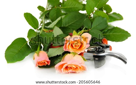 Garden secateurs and roses isolated on white - stock photo