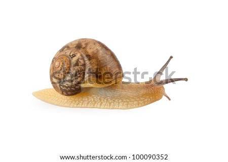 garden snail crawling isolated on white