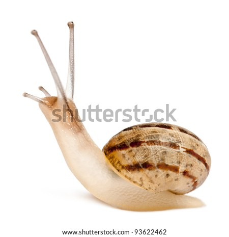 Garden Snail, Helix aspersa, in front of white background - stock photo