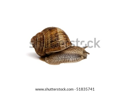 Garden snail (Helix aspersa) on white background - stock photo