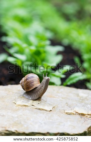 Garden snail invasion in the in a vegetable garden. (Helix aspersa). Selective focus.
