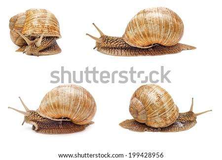 Garden snail isolated on white background. Set of snails. - stock photo