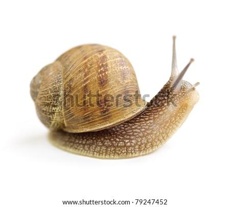 Garden snail looking around isolated on white background - stock photo