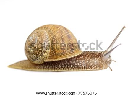 Garden snail moving forward isolated on white background - stock photo