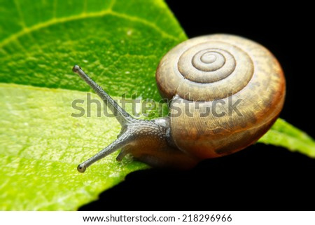 garden snail on green leaf  - stock photo