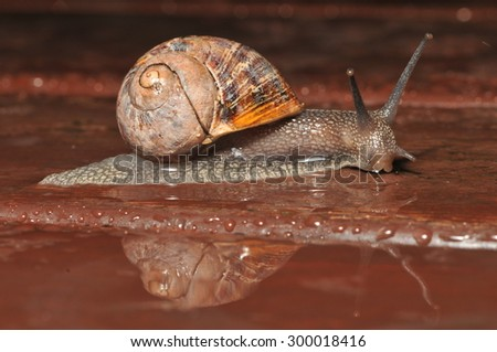 garden snail with reflection in the rain  - stock photo