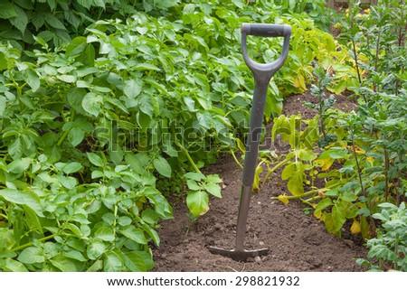 Garden spade in a potato plot ready for digging - stock photo