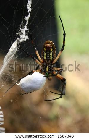 Garden Spider - stock photo