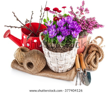 Garden spring flowers crocus in wicker basket with watering can tools. Isolated on white background - stock photo
