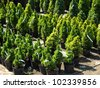 Garden store center with many of coniferous trees - stock photo