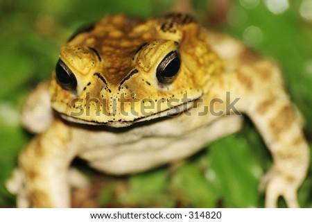 Garden toad, head in focus - stock photo