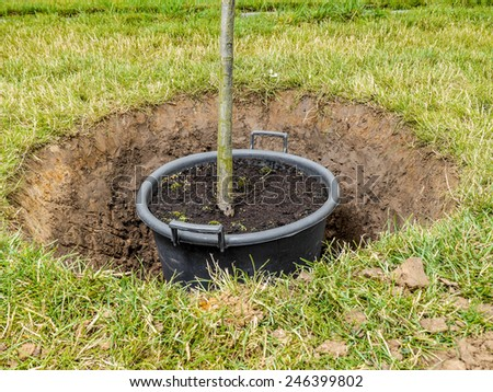 Garden tree being planted into the ground - stock photo