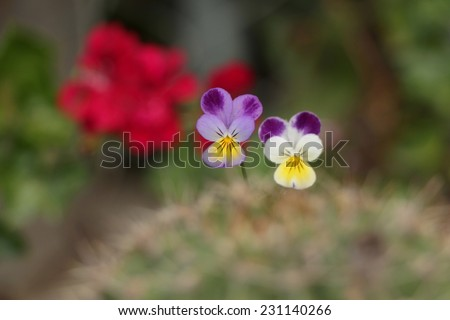 Garden violet blooms profusely lilac flowers / Closeup of pansy flowers, shallow depth of field. Tricolor pansy flower - stock photo