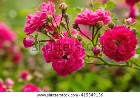 Garden with fresh red roses, floral natural background - stock photo
