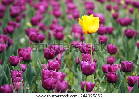 garden with purple and one yellow tulip flower - stock photo