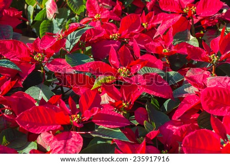 Garden with red poinsettia flowers or christmas star - stock photo