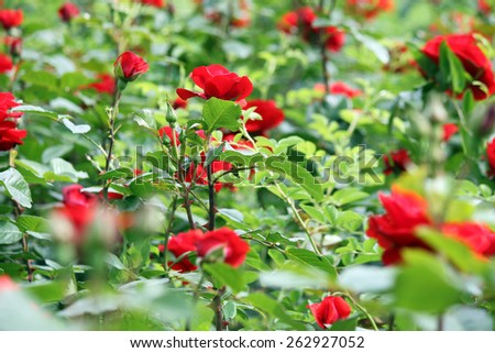 garden with red roses flower spring season - stock photo