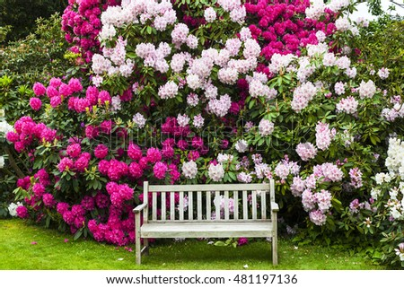 Garden with rhododendrons and old wooden bench.