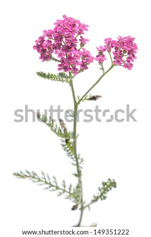 Garden yarrow with pink flowers isolated on white - stock photo