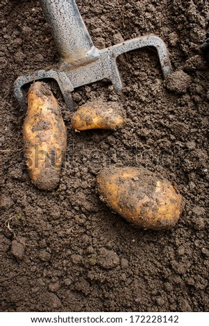 Gardener digging up fresh home grown potatoes with a garden fork ready for the kitchen table - stock photo