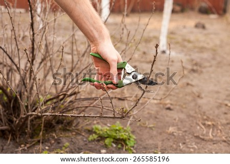 Gardener is cutting a currant with a sharp pruner - stock photo