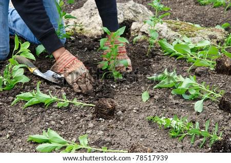 Gardener planting bedding plants with trowel - stock photo