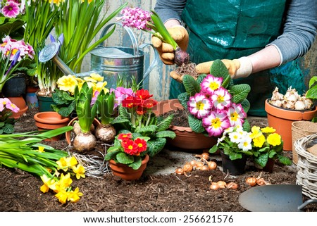 Gardener planting flowers in pot with dirt or soil at back yard - stock photo