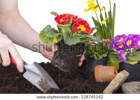 gardener planting primroses, daffodils and daisy flowers in a flower soil, isolated on a white background. flower bed with decoration, flowers and tools.