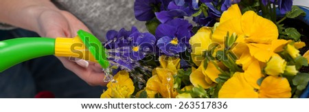 Gardener pouring water on a pansy flowers - stock photo