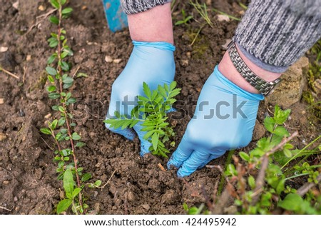 Gardeners hand planting plants in pot with soil. French Marigold's golden flower(Tagetes patula). Early spring works. - stock photo