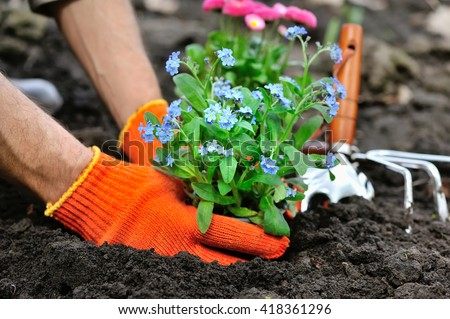 Gardeners hands planting flowers Forget-me-not in garden - stock photo