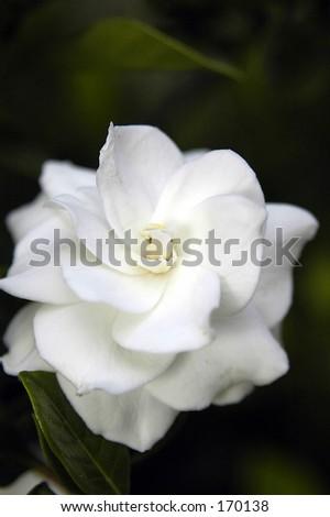 Gardenia. - stock photo