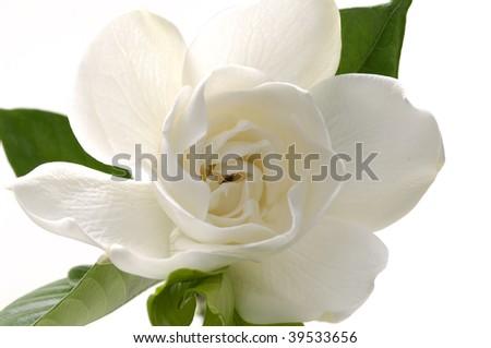 gardenia - stock photo