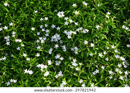Gardenia. Cape Jasmine with green leaves wall background. Small white flowers and green leaves garden top view . Gardenia fields. - stock photo