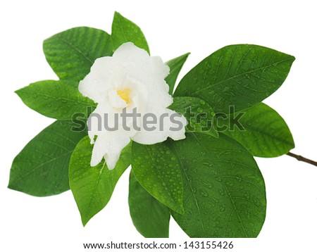Gardenia flower (Gardenia jasminoides) isolated on white background. Closeup. - stock photo