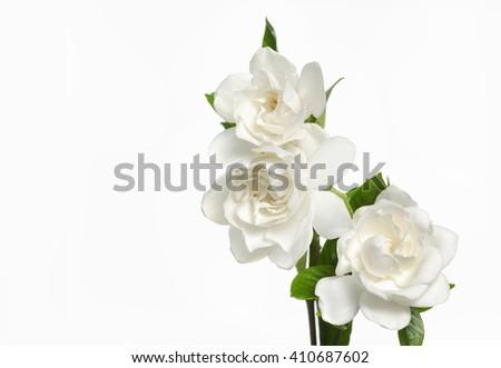 Gardenia flowers-white background    - stock photo