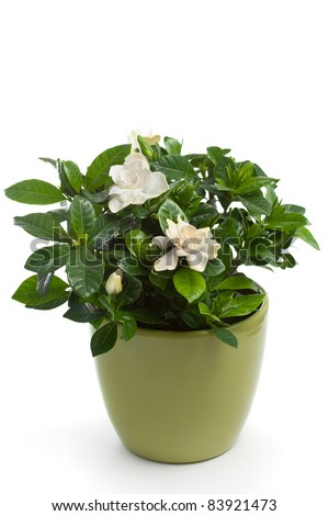 Gardenia (Gardenia jasminoides) in Flower Pot - stock photo