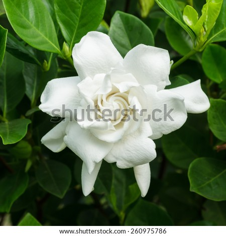 Gardenia jasminoides (Cape jasmine) flower on green leaves background. - stock photo