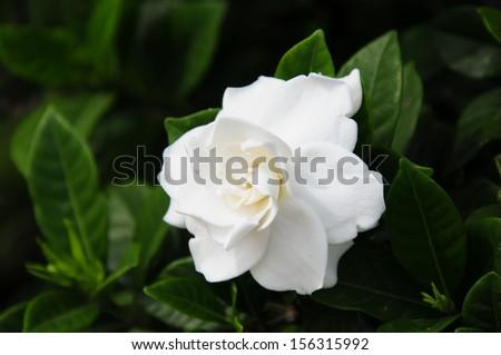 Gardenia jasminoides (Cape jasmine) foliage and flower  - stock photo