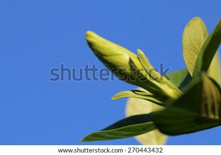 Gardenia jasminoides flower on  blue sky background - stock photo
