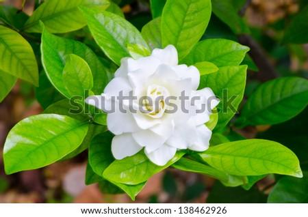 Gardenia jasminoides in Thailand - stock photo