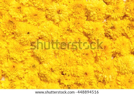 gardening, botany, floristry, texture and flora concept - beautiful chrysanthemums flowers - stock photo