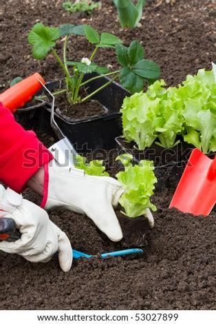 gardening, planting salad seedlings - stock photo