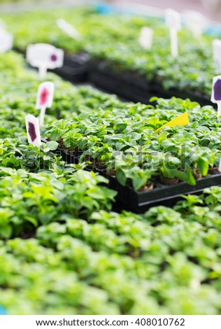 gardening, plants, farming and botany concept - close up of seedlings in farm greenhouse - stock photo