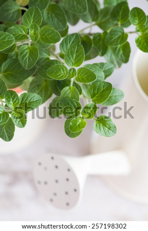 Gardening.  Potted Oregano  plant and watering can on the white background - stock photo
