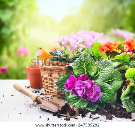 Gardening set on table with flowers, pots, potting soil and plants on sunny garden background - stock photo